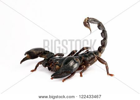 Giant forest scorpion (Heterometrus laoticus) on white background. Heterometrus sp. are the tropical forest scorpion.