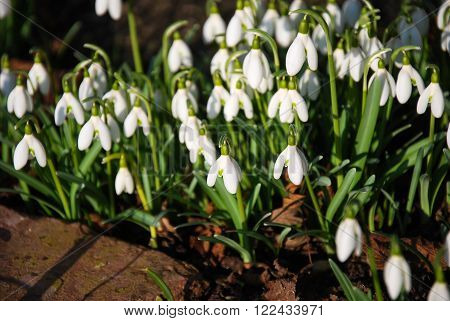 Sunlit group of snowdrops blossom in a garden ** Note: Shallow depth of field