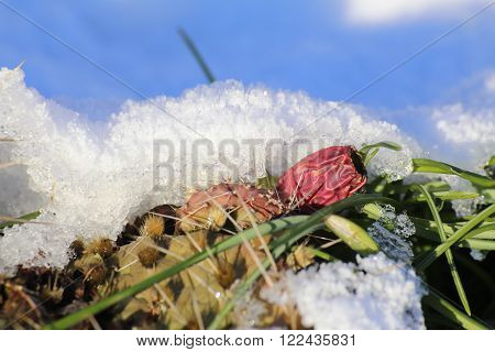 Hardy Prickly Pear Species (opuntia Howeyii) Under Snow Cover