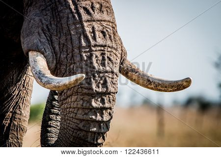 Elephant tusks in the Kruger National Park, South Africa.