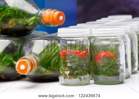 Dwarf roses and orchids growing in the culture bottle by plant tissue culture technique
