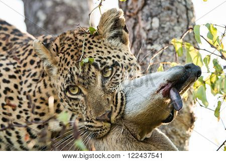 Leopard with a Duiker kill in the Sabi Sands, South Africa.