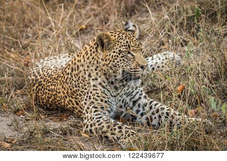 Leopard laying in the grass in the Sabi Sands, South Africa.