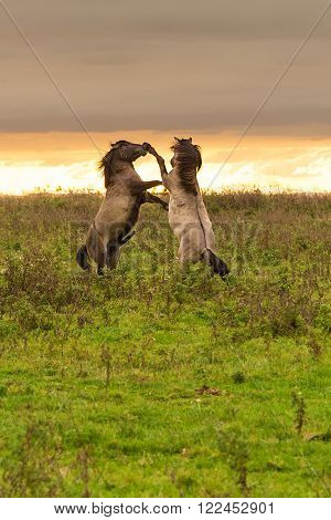 Two wild Konik horses prancing and kicking each other at sunset in the National Park Oostvaardersplassen in The Netherlands.