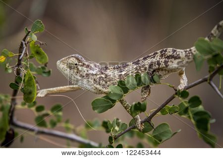 Flap-necked chameleon on a branch, South Africa.
