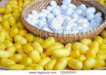 Yellow silkworm cocoon in basket background. Selective focus.
