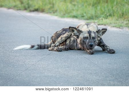 African wild dog laying in the road in the Kruger National Park, South Africa. ** Note: Visible grain at 100%, best at smaller sizes