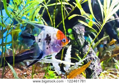 Koi scalar in an aquarium on a background of green algae and blue water ** Note: Soft Focus at 100%, best at smaller sizes
