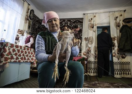 Krasnodar Russia - 18 March 2013: Woman 60 years old removes feathers and down with the chicken in the Russian hut. In the background a girl of 7 years. Peasant life of the Kuban region.