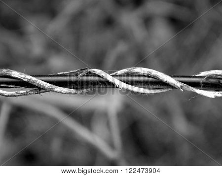 creeper wrapped around the wire, black and white ** Note: Soft Focus at 100%, best at smaller sizes