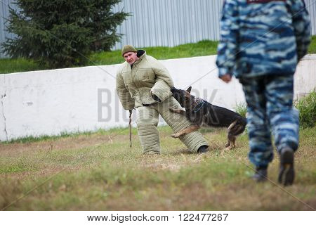 Omsk, Russia - August 22, 2014: Canine Center. German shepherd training attack
