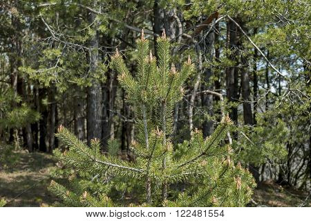 Background with pine tree branch and pine or pinus forest, mountain Murgash, Bulgaria