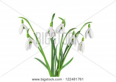 Photo of bouquet of snowdrops isolated on white
