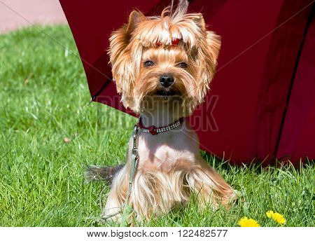 A charming little dog Yorkshire terrier under a red umbrella.