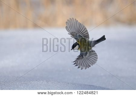 Flying Great tit (Parus major) above snow