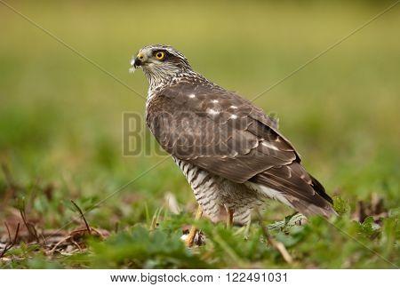 Eurasian sparrowhawk in natural habitat (Accipiter nisus)