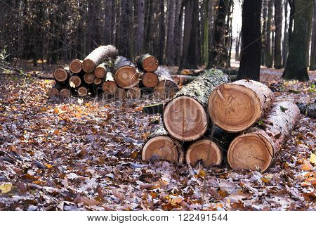 Cut Down Wood Logs Stack In Autumn Forest