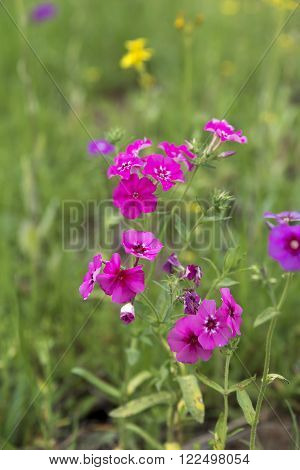 Phlox along the highway in East Texas in early Spring