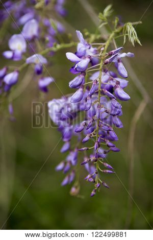 Wisteria along a Texas highway in the early Spring