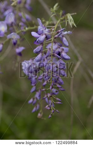Wisteria along the highway on a Texas highway