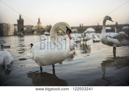 Swans On Vltava River In Prague, Czech Republic. Charles Bridge On The Background