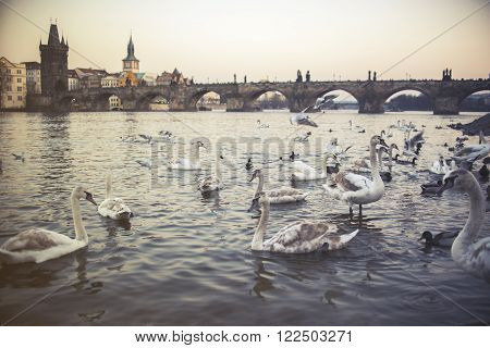 Swans On Vltava River In Prague, Czech Republic. Charles Bridge On The Background, Vintage Effect