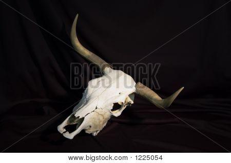 Steer Skull 1