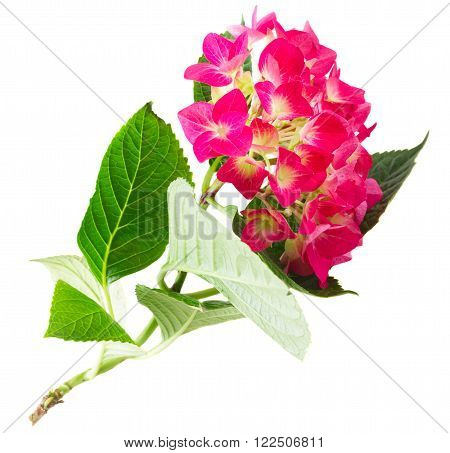 brunch of pink hortensia flowers isolated on white background
