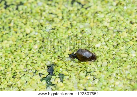 duckweed in a water trough with insects and small snails