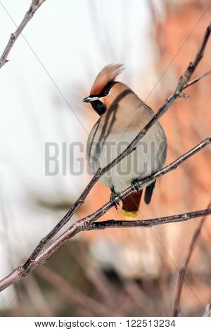 Crested waxwings sitting on a branch on a sunny spring day close up