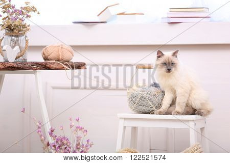 Color-point cat with skeins sitting on a chair in living room