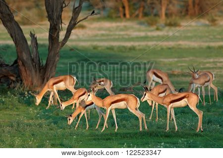 Springbok antelopes (Antidorcas marsupialis) in natural habitat, Kalahari, South Africa