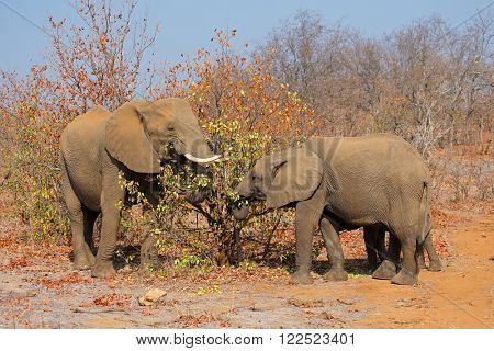 African elephants (Loxodonta africana) feeding, Kruger National Park, South Africa