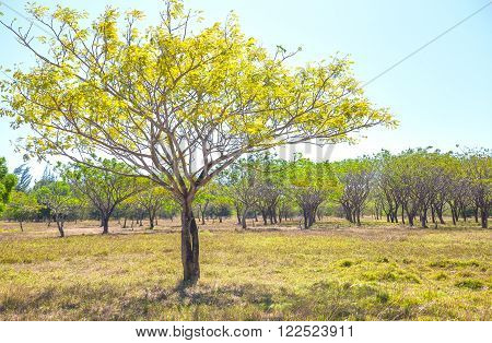 Lonely tree in autumn forest with deciduous trees and large yellow leaves covering the show season cycle leaved tropical plant growth, while watching the beautiful leaves of trees change color