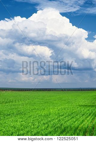 spring landscape - green wheat field and blue sky