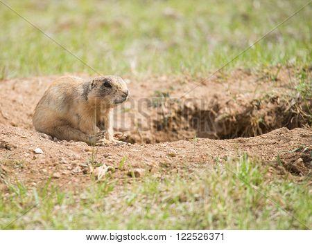 Utah prairie dog (Cynomys parvidens) sitting near the hole in Bryce Canyon National Park. Utah, USA