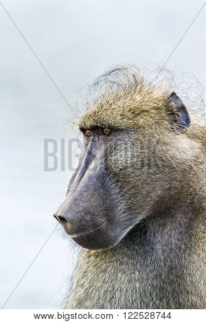Specie Papio ursinus family of Cercopithecidae, portrait of a chacma baboon