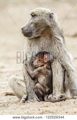 Specie Papio ursinus family of Cercopithecidae, portrait of a mother and its baby chacma baboon