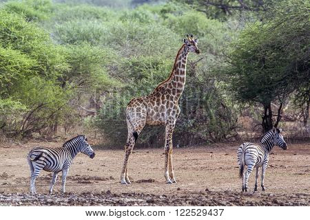 Specie Equus quagga burchellii et Giraffa camelopardalis, giraffe and zebras standing in the riverbank