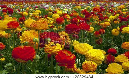 Rows of colorful flowers grow on a hillside in Carlsbad California.