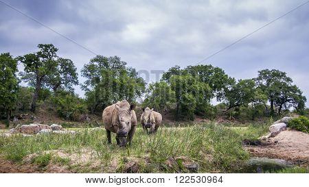 Specie Ceratotherium simum simum family of Rhinocerotidae, southern white rhinoceros in savannah ** Note: Soft Focus at 100%, best at smaller sizes