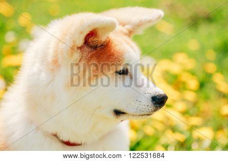 Close Up Of Akita Dog Or Akita Inu, Japanese Akita Puppy