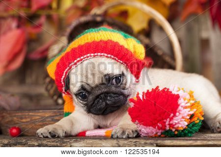 Portrait of a puppy Pug wearing the knitted hat