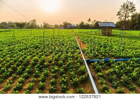 Peanut field groundnut field on ground in vegetable garden. Sunset over field.