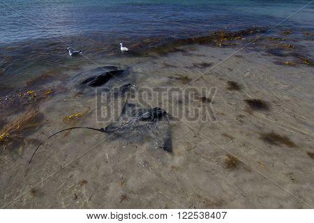 Stingrays at Hamelin Bay in Western Australia