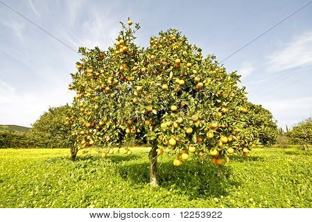 Orange tree in springtime full of oranges