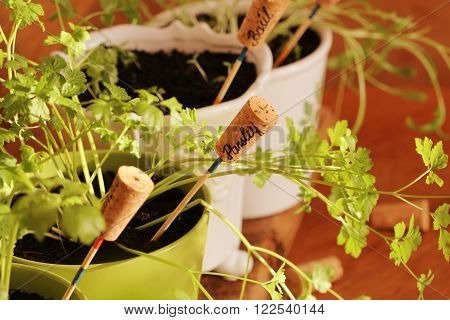 Fresh herbs with markers growing in pot
