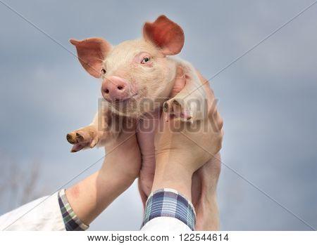 White piglet in girl's hands raised in the sky