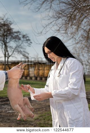 Veterinarian Applying Vaccine To Piglet