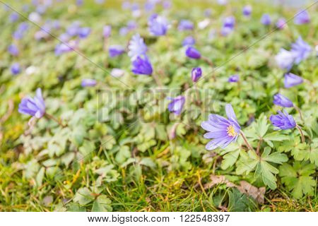 Fragile purple blooming and budding yellow hearted wood anemone or Anemone nemorosa plants growing in the wild nature in the Netherlands. It is up to the beginning of the spring season.